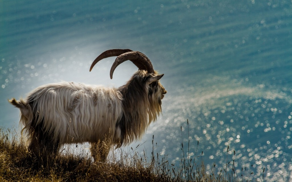 Are you already feeling the slower tempo and milder temperament of the Wood Goat?